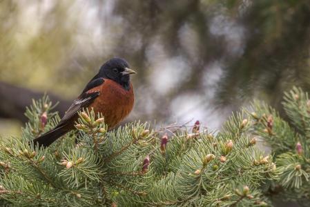 彼得达西,自然,鸟,树枝,松树,针