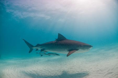 虎鲨,鲨鱼,捕食者,照片,在水之下