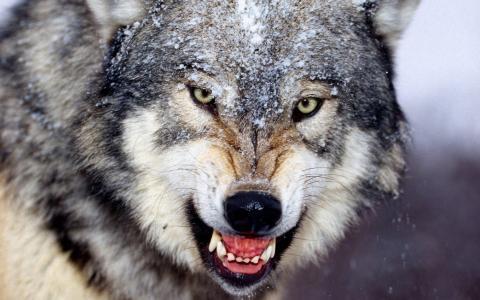 狼,咧嘴笑。