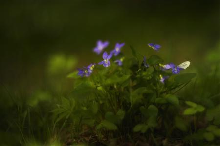紫罗兰的时间,花,叶,特写镜头,照片,Tanya她