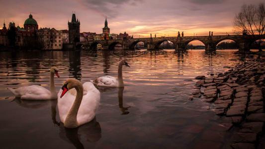 阿林迪努,捷克共和国,城市,布拉格,河,伏尔塔瓦河,桥梁,查理大桥,查理大桥,建筑物,鸟,天鹅