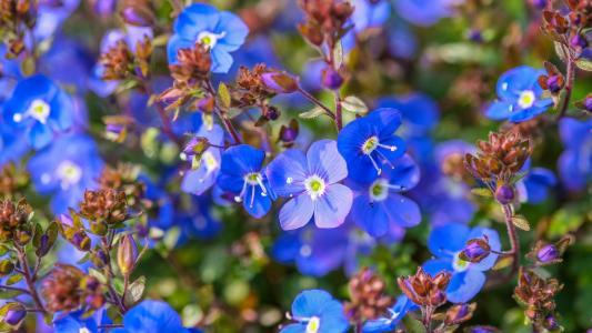 小,蓝,花,勿忘我