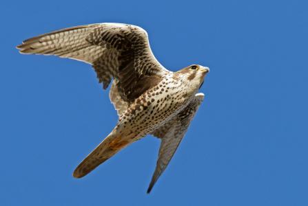 背景,蓝色,猎鹰,秋千,鸟,飞行,翅膀,天空