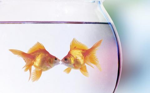 鱼,黄金,水族馆,爱情