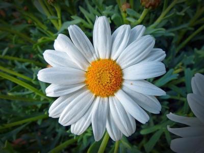 甘菊,鲜花,宏