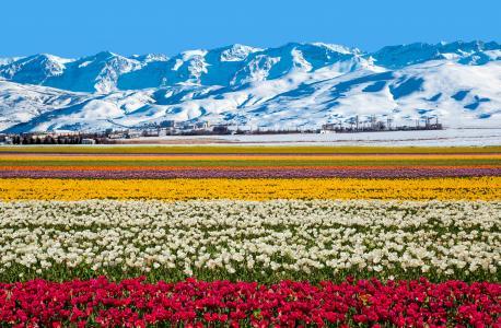 澳大利亚,山,领域,郁金香,性质,鲜花