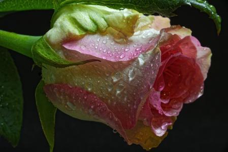 宏,花,滴,玫瑰,芽,黑色背景