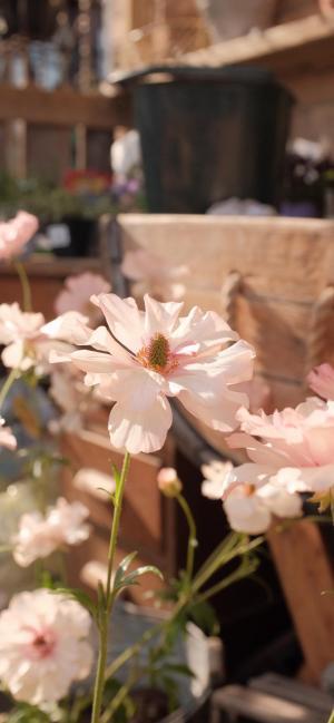 黄昏下的清新雏菊