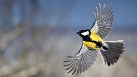 照片,世界鸟类,山雀