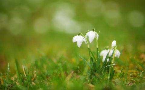 芽,草,滴,报春花,雪花莲,白色