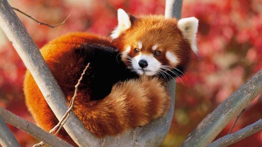 红熊猫,枪口,耳朵,眼睛,小胡子,尾巴,树,树枝,美女