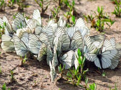 蝴蝶,翅膀,草,飞蛾,昆虫,地球