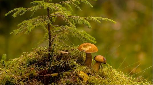 在小丘,枞树,蘑菇,特写镜头,Burlov安德烈
