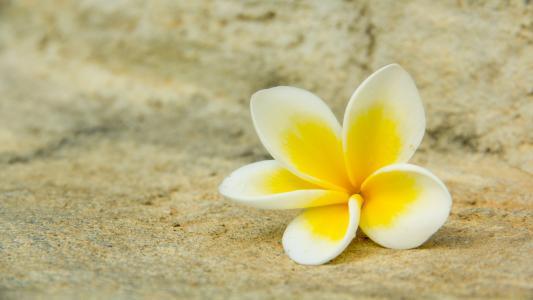 黄色,鸡蛋花,白色,花,花瓣,宏