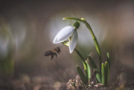生命活跃起来,雪花莲,蜜蜂,春天,塔蒂亚娜阿韦里娜
