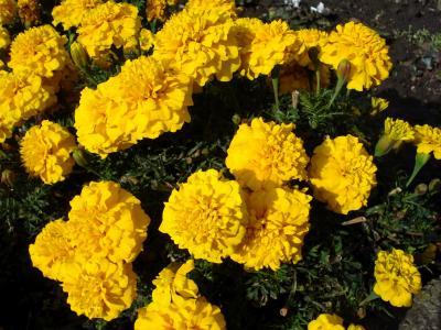 万寿菊,特写镜头,黄色