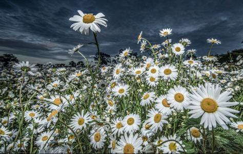 照片,夏天,鲜花,洋甘菊