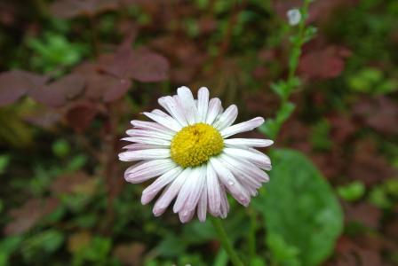 秋天,花,一个,白粉红色