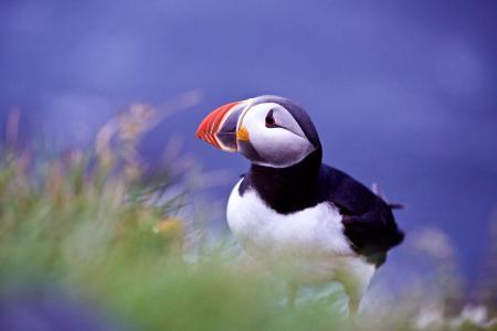 鸟,死鸟,冰岛,草