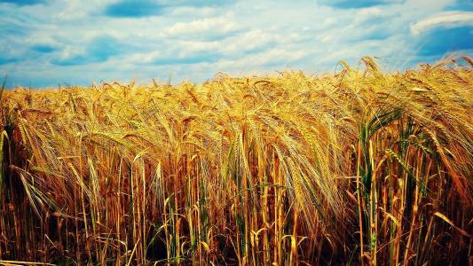 小麦,天空,领域