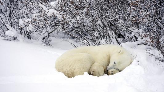 冬天,雪,北极熊,森林