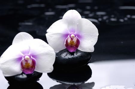 兰花,黑色,鲜花,光滑,反射,白色,石头