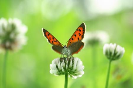 花,白,蝴蝶,昆虫,三叶草,鲜花