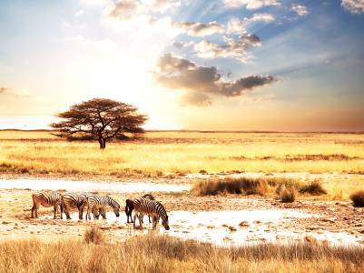大草原,非洲动物,斑马,非洲,景观,动物,斑马