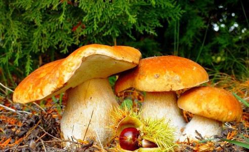蘑菇,栗子,树,草,落叶
