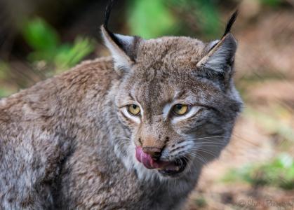 l,,野猫,捕食者,枪口,舔,舌头