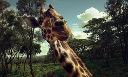长颈鹿,脖子,宏,惊喜,喜悦,动物,会议
