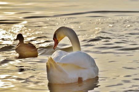 鸟,鸭,天鹅,水