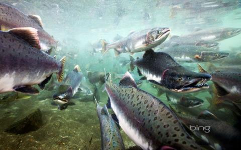 照片,鱼,三文鱼,水下,产卵,冰