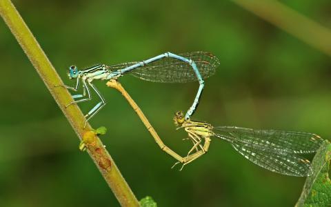 心,蜻蜓,创意,昆虫