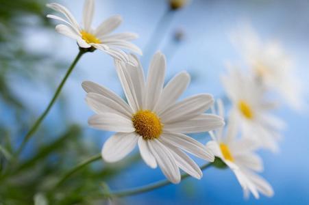 鲜花,美容,花卉,洋甘菊,雏菊,背景,花瓣,世界的鲜花