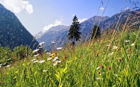 性质,山,阿尔卑斯山,草地,夏天,鲜花,雏菊,森林,冷杉,天空,云