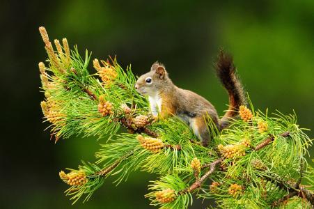 松树,分支,松鼠