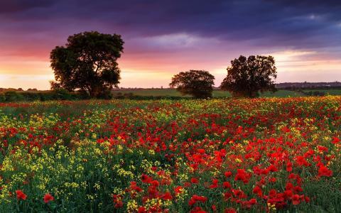 英国,罂粟,晚上,油菜,夏天,自然,鲜花,领域,景观。