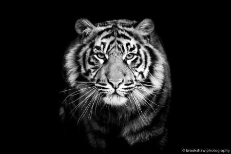 老虎,看看,捕食者,黑色和白色背景,小胡子,黑色的背景