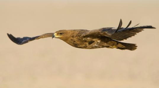翅膀,鸟,飞行,捕食者,草原鹰