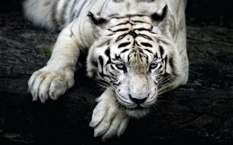 白虎,老虎,捕食者,爪子,枪口,小胡子