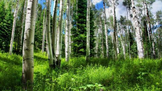 性质,森林,桦木,冷杉,云