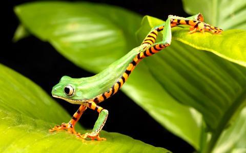 青蛙,绿色,跳跃