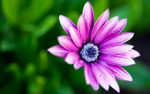 花,紫罗兰色,宏观照片主题,露水