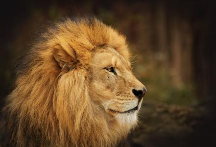 国王,鬃毛,狮子