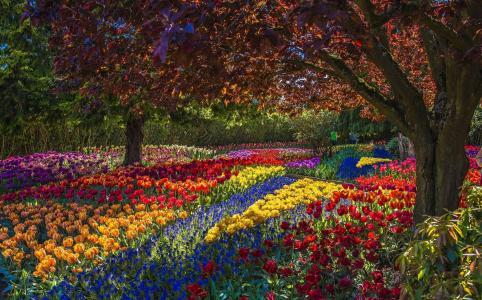 公园,鲜花,郁金香,树木