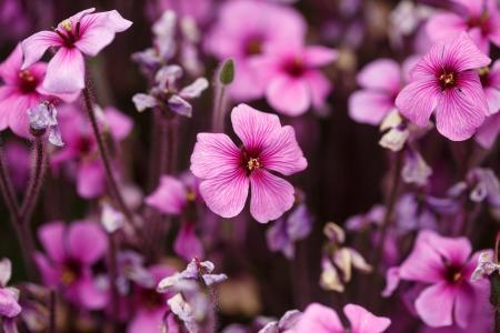 性质,鲜花,粉红色