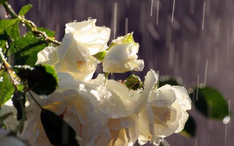 玫瑰,白色,芽,花束,雨,水,滴