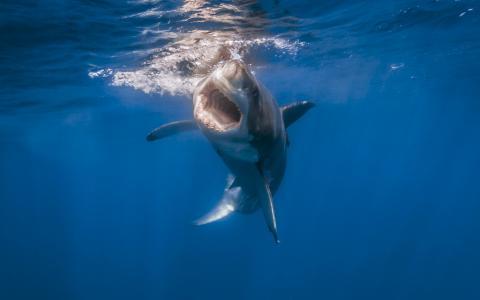 鲨鱼,白鲨,照片,在水之下