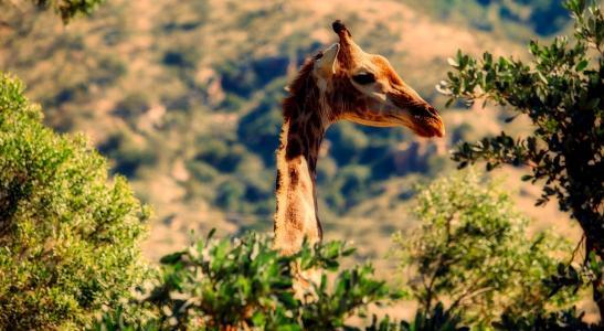 动物,长颈鹿,头,脖子,树木